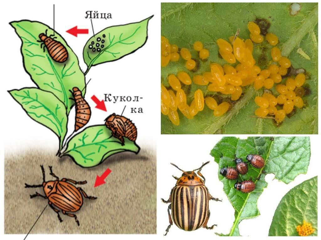 Livscykel av colorado potatisbaggen