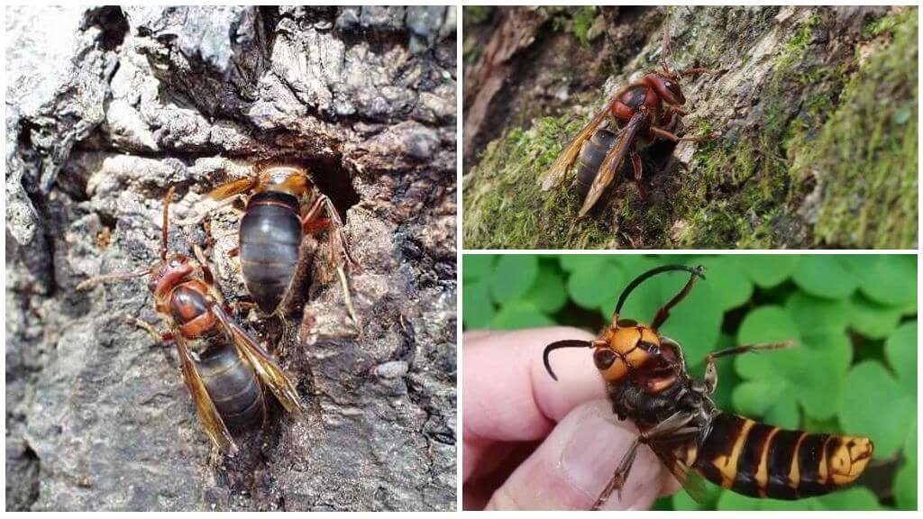 Hornet Dybowski