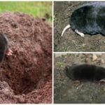 Siberian eller Altai mol