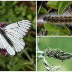 Caterpillar och Butterfly Hawthorn