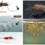 Myggfödsel