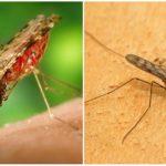 Malaria mygga