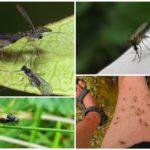 Blackflies och myggor