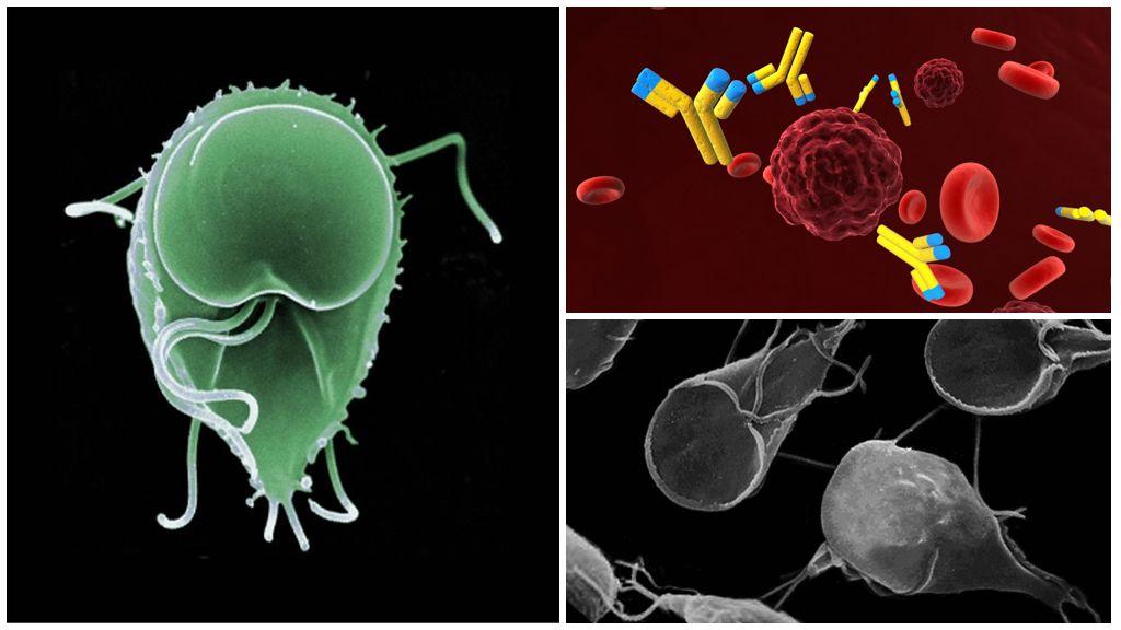 Antikroppar mot Giardia