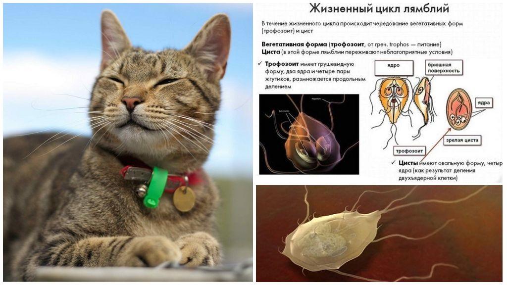 Giardia hos katter