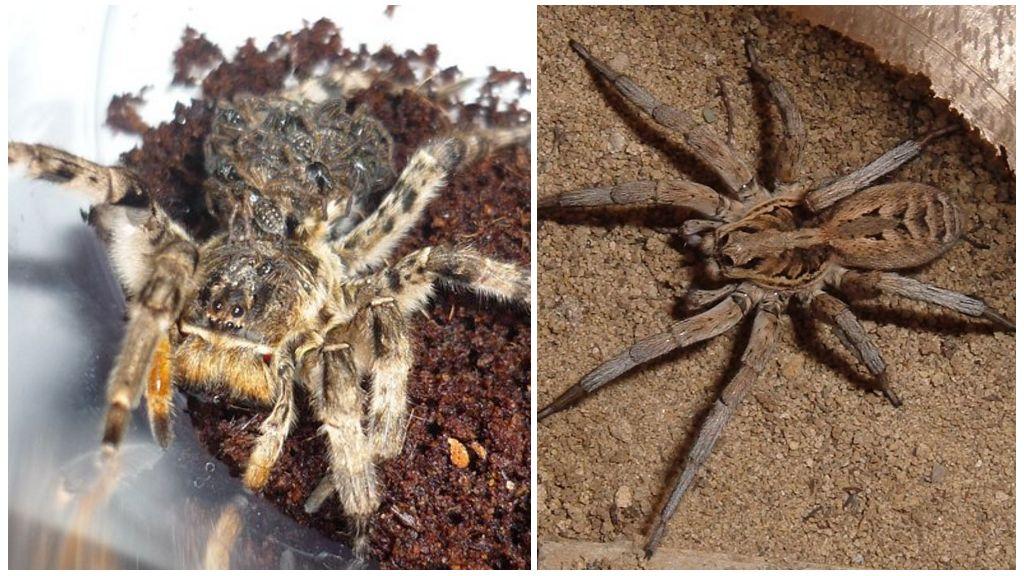South Russian tarantula