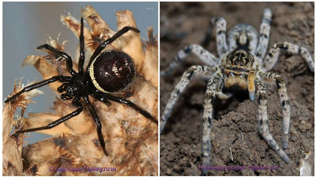 Spindlar på Krim